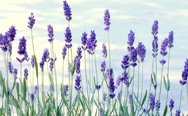 fresh lavender flowers pic